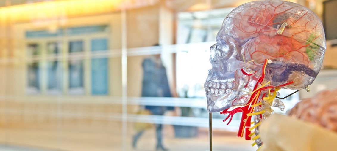 cerveau de squelette transparent